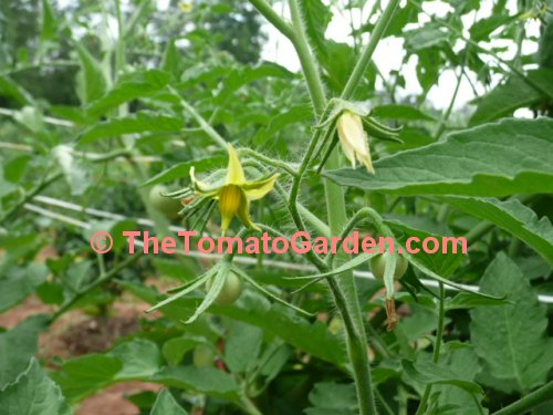 Anna Russian Tomato Plant bloom