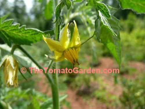 Tomato MARGOL F1 seeds professional Red Cherry tomatoes Ukraine 10 seeds